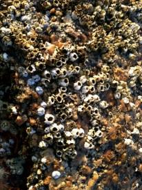 haystack_barnacles